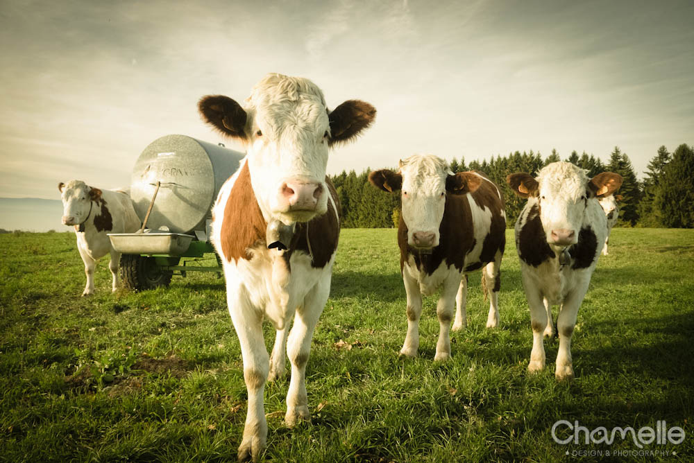 evian-france-cows-chamelle-photography