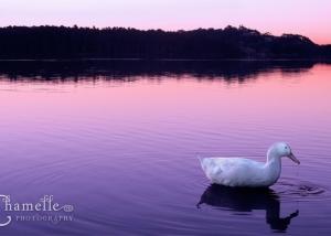 narrabeen-lakes-sydney-australia-duck-dusk-chamellephotography