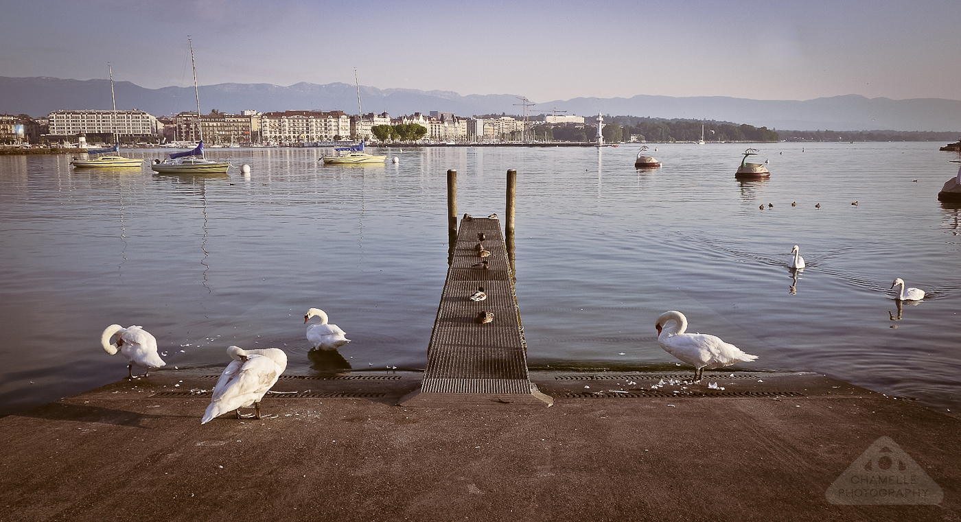 swans-lake-geneva-morning-chamelle-photography