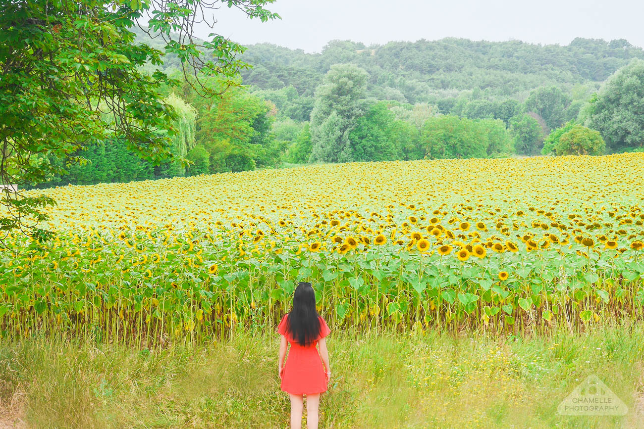 Sunflower fields of Provence France